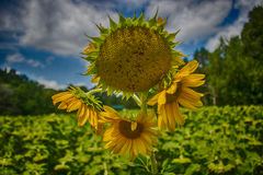 Sunflowers. At the Forks of the River in Knoxville, TN Stock Image