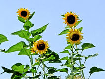 Sunflowers. Four sunflowers stand in the background of a blue sky stock image