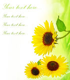 Sunflowers frame Stock Image