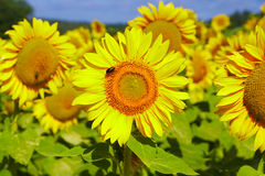 Sunflowers in France. Field of sunflowers in France stock photo