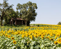 Sunflowers in France Stock Images