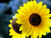 Sunflowers. Fresh and bright yellow sunflower with one peeking behind Royalty Free Stock Photos
