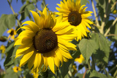 Sunflowers. In front of a bright blue sky royalty free stock image