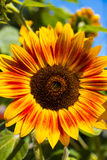 Sunflowers. Front light yellow orange pedals and steams with blue sky stock images