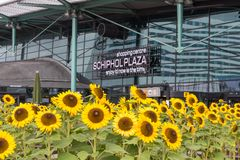 Sunflowers in front of a shopping centre at the ai Stock Image
