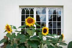 Sunflowers in front of the window Royalty Free Stock Photos