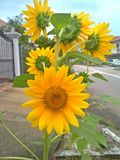 Sunflowers in full bloom. Cluster of sunflowers growing and blooming in a garden in a private housing estate in Bukit Timah suburbs of Singapore Royalty Free Stock Images