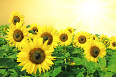 Sunflowers full bloom, golden sun scenery Stock Images