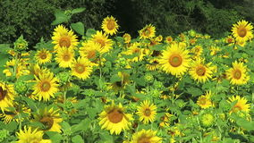 Sunflowers in full bloom in July stock video