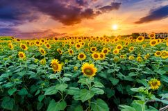 Sunflowers full bloom and light in the morning. stock images