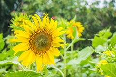 Sunflowers in full bloom Stock Images