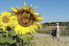 Sunflowers in full bloom. Strolling woman and sunflowers in full bloom Stock Photos