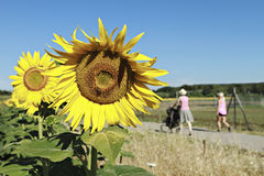 Sunflowers in full bloom. Strolling woman and sunflowers in full bloom Royalty Free Stock Images