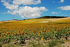 Sunflower field, Medina Sidonia, Andalusia. Stock Image