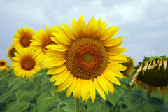 Sunflowers in the Garden. A field of bright yellow sunflowers Stock Image
