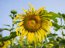 The Sunflowers in the garden5 Royalty Free Stock Photos