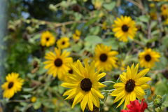 SUNFLOWERS. IN THE GARDEN - BEAUTIFUL DAY Stock Photos