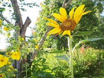 Sunflowers in the garden stock photography