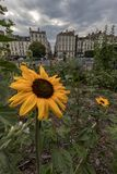 Sunflowers in a garden of Nantes royalty free stock image