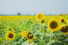 Sunflowers garden Royalty Free Stock Images