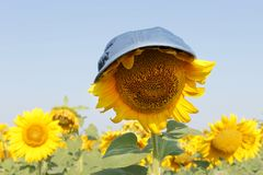 Sunflowers garden. Sunflower in a cap under the scorching sun. Sunflowers have abundant health benefits Stock Photo