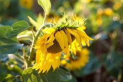 Sunflowers. In garden.  blooming in sunflower darden. Yellow paradise royalty free stock image