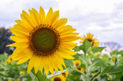 Sunflowers garden. Sunflowers have abundant health benefits. Sun. Flower oil improves skin health and promote cell regeneration Stock Images