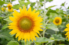 Sunflowers garden. Sunflowers have abundant health benefits. Sun. Flower oil improves skin health and promote cell regeneration Royalty Free Stock Photos