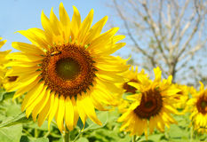 Sunflowers garden. Sunflowers have abundant health benefits. Sun. Flower oil improves skin health and promote cell regeneration Stock Photography