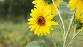 Sunflowers in the garden stock footage