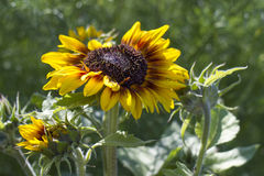 Sunflowers in the garden (Helianthus) Royalty Free Stock Photography