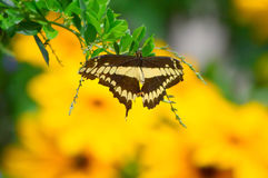 Sunflowers and Giant Swallow Tail Butterfly Stock Photo