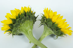 SUNFLOWERS-GIRASOLES Stock Photos