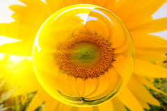 Sunflowers in glass ball effect with blurred Sun flowers field background Stock Photography