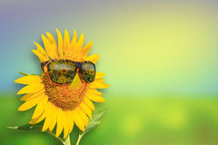 Sunflowers glasses on background. Summer Time Stock Image
