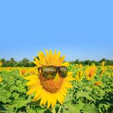Sunflowers glasses and bright blue sky : Summer Time Stock Image