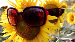 Sunflowers with glasses stock footage