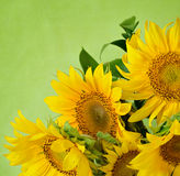 Sunflowers on green background royalty free stock image