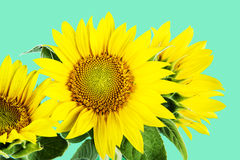 Sunflowers on green background Stock Photography