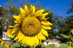 Sunflowers in the green field. Sunflowers blossoming in the field at sunny day Royalty Free Stock Photo