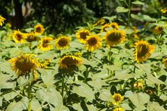 Sunflowers in the green field at countryside. Sunflowers blossoming in the field at sunny day. Sun flower Royalty Free Stock Photos