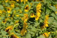Sunflowers in the green field. Sunflowers blossoming in the field at sunny day Stock Photography