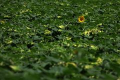 Sunflowers and green leaves, full screen stock image