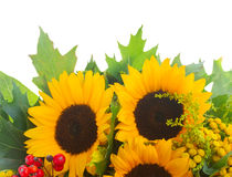 Sunflowers with green leaves. Isolated on white background Royalty Free Stock Photography