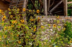 Sunflowers and Grist MIll Royalty Free Stock Image