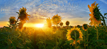 Sunflowers. A group of sunflowers at sunrise Stock Photography
