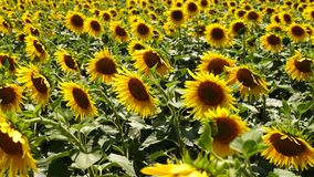 Sunflowers grow in a field on a farm, the nature. Of Ukraine stock video footage