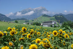 Sunflowers Growing on Alpine Meadow Stock Photo