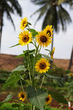 Sunflowers growing in the city, Indonesia. Sunflowers growing in the city of Ancol with palm trees in the background, Indonesia Royalty Free Stock Photo