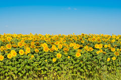Sunflowers growing Stock Images